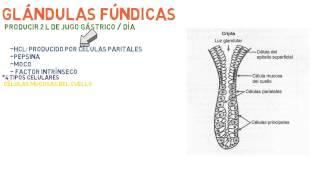 Histología: Estómago - Sistema digestivo