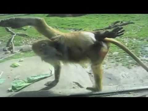 Macaco malvado Tente nao rir morre diabo