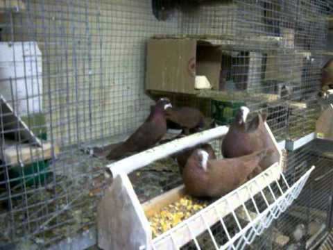 iraqi pigeons in canada