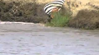 Zebra gets caught by crocodile Intestines hanging out.