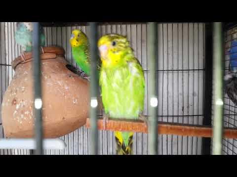 Xxx Mp4 Apne Birds Ko Garmi Se Bachae Video In Urdu Hindi 3gp Sex