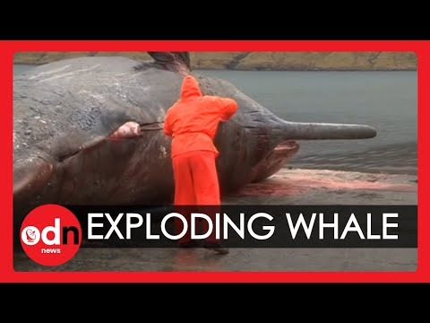 Exploding sperm whale Carcass caught on camera in The Faroe Islands!