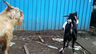 Desi Goats,  Fight 2016 - Boxer & Lala checking