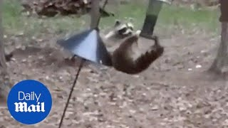 Raccoon Steals bird food from feeder - Daily Mail