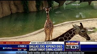 Giraffe born at Dallas Zoo in April dies after breaking neck