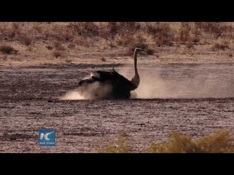 How Ostrich do the sand bathing