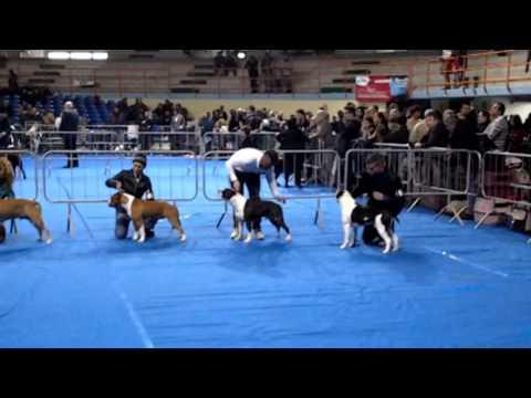 PASIRO ENMACRAN KENNEL American Staffordshire Terrier