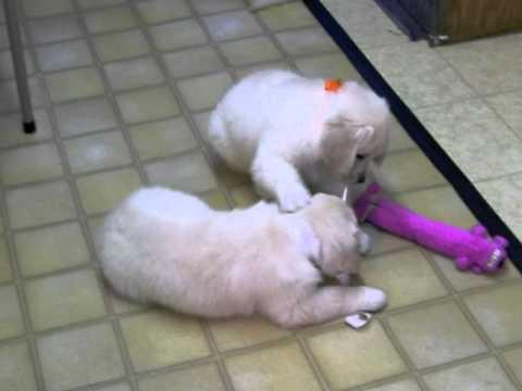 Lada's puppies, 8 weeks old