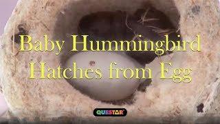 Hatching - First Flight A Mother Hummingbird