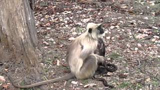 mother monkey and twins