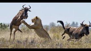 Documentaire Sur Les Lions Chasseurs De Gnous (SAVANE)