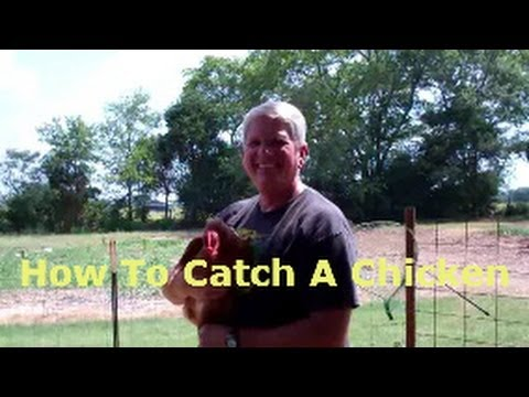How To Catch A Chicken Without Running Around Like An Idiot
