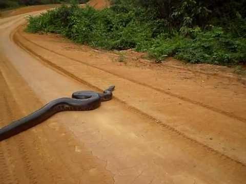 Cobra Sucuri na Transamazônica