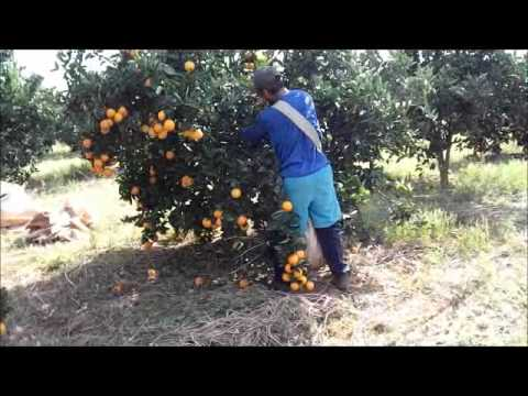 ceara colhendo laranja