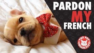 Pardon My French   French Bulldog Video Compilation