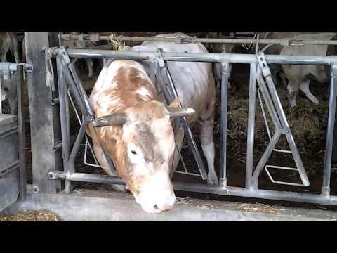 Ferma vaci de carne in Franta