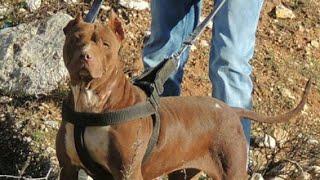 شاهد كيف تم علاج كلبة البيتبول بعد ان استغنى عنها صاحبها مع جمال العمواسي