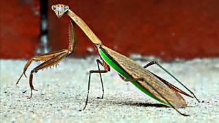 Blah - Praying Mantis