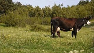 Айтос/България сутрешни крави - Panasonic GF2 14-42mm
