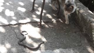 котка си играе със змия