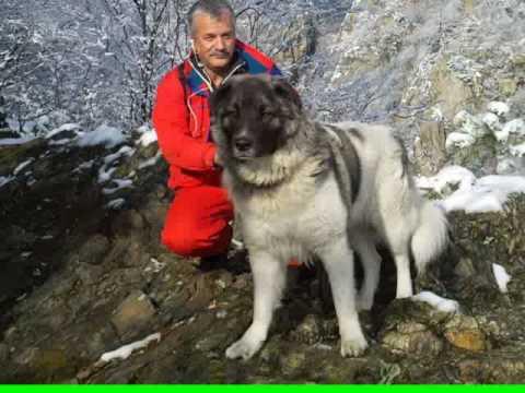 Развъд� ик за българско овчарско куче Локо Лави� а