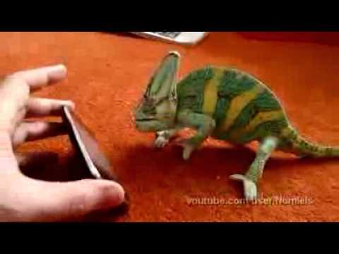Camaleón se asusta al verse en el iphone impresionante