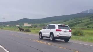 CAR HITS MOOSE in Colorado - White River National Forest