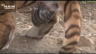 Tiger Birth at Tiger Canyons. Help save tigers. Share our post.