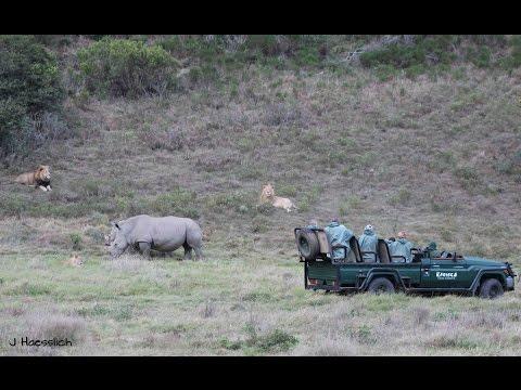 White Rhino vs Lion Pride