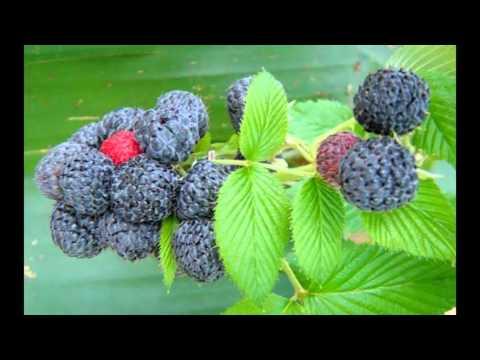 Mysore Raspberry frouits