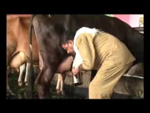 Xxx Mp4 Animal Farming 3 Dairy Production Malayalam A Documentary By Dr FX 3gp Sex