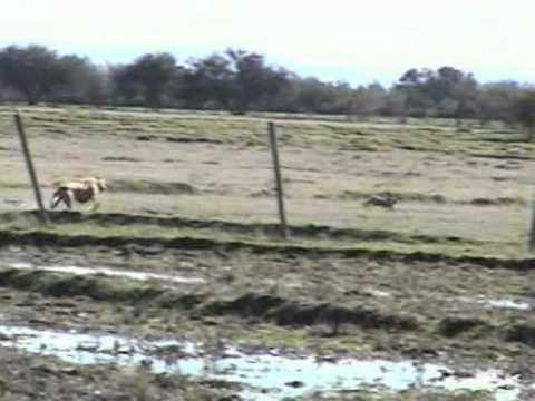 caza de liebres con galgos parral chile.3