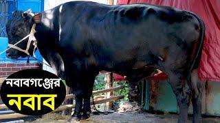 2020 সালের সেরা আর্কষণ নবাবগঞ্জের নবাব অন্যতম ষাঁড় গরু।।cow nobab