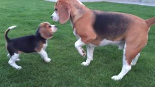 Cute Dog Meets Little Puppy Sister For The First Time!!! Love At First Sight!