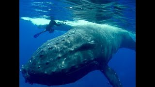 Wild Whale Rushes To Save Diver From Giant Shark