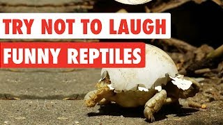 Try Not To Laugh   Funny Reptiles Video Compilation 2017