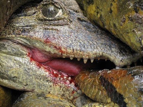 Anaconda vs Caiman Alligator