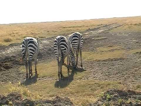 Zebra kontjes.MOD