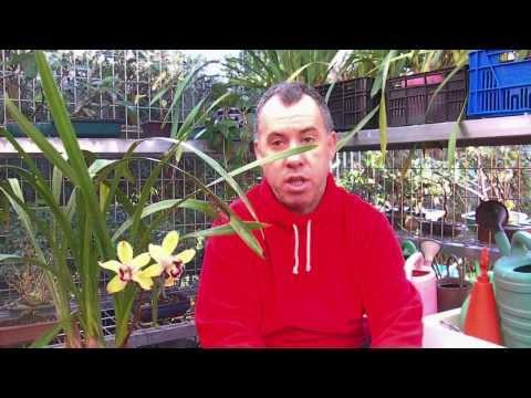 Cuidados de la orquídea Cymbidium por Bonavebe 13 Noviembre 2013.