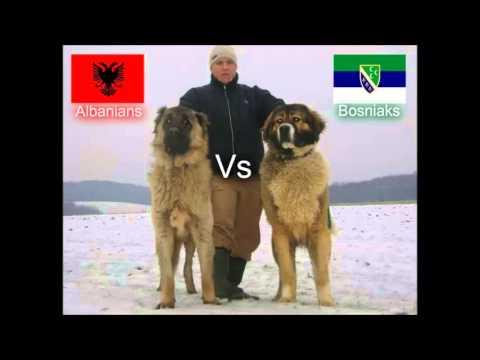 Qent e Sharrit Albanians Vs Šarplaninac Bosniaks Dog Fight