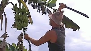 Harvesting Bananas... What do I do with the Tree???