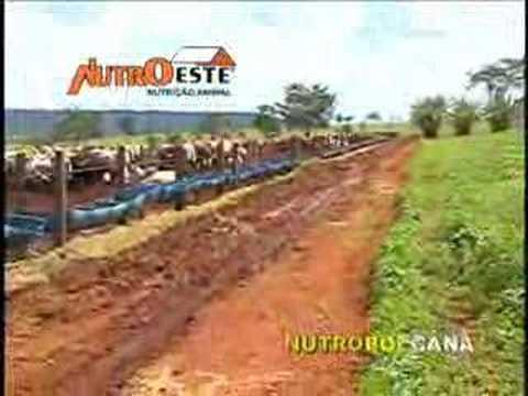 Confinamento Bovino Cattle Feedlot Nutroeste Nutrição Animal