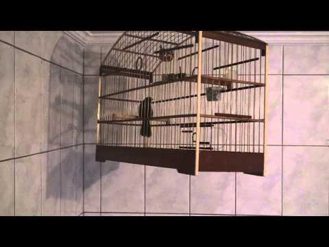 pixarro boiadeiro repitidor do pezao chega dar 16 viradas e mata com com 4 notas boi