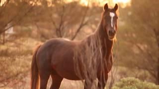 The Australian Wild Horse (The Brumby)