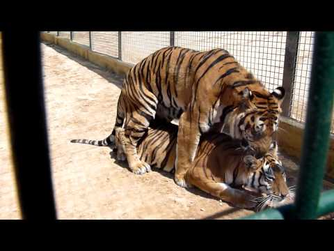 Tigres Apareandose.