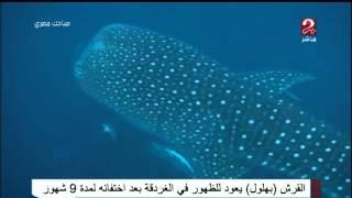 """القرش """"بهلول"""" يعود للظهور فى الغردقة بعد اختفائه لمدة 9 شهور فى صباحك مصرى"""