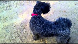 Kerry Blue Terrier playing 2