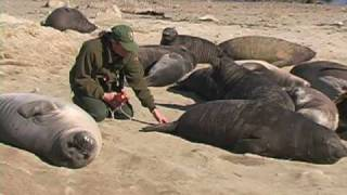 Elephant Seals:  Our Window to the Ocean