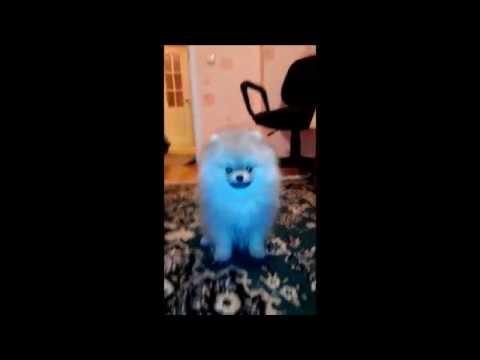 Азур Великолепный - продается щенок