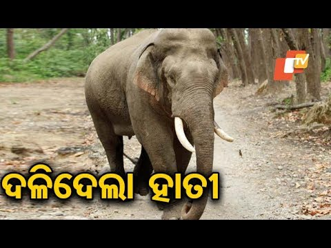 Xxx Mp4 1 Killed In Elephant Attack In Angul 3gp Sex